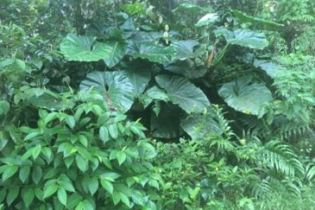 Plante de Guadeloupe